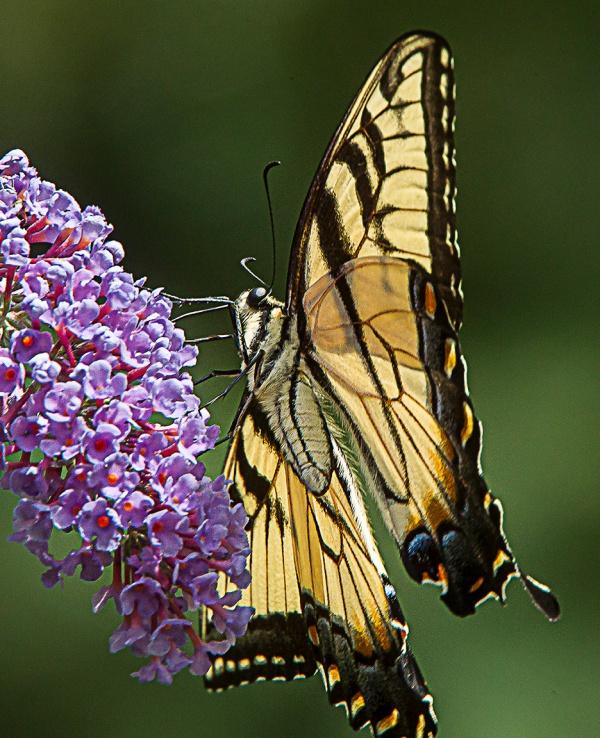 Eastern Tiger swallowtail v3_43G3338