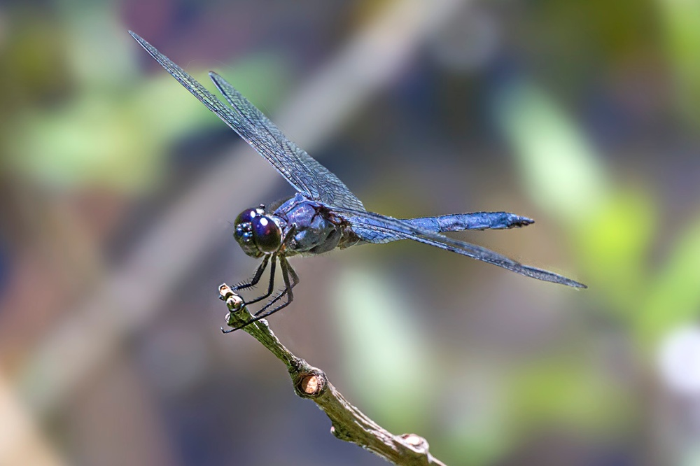 Slaty_Skimmer_v5_DM f11_43G0469-Recovered