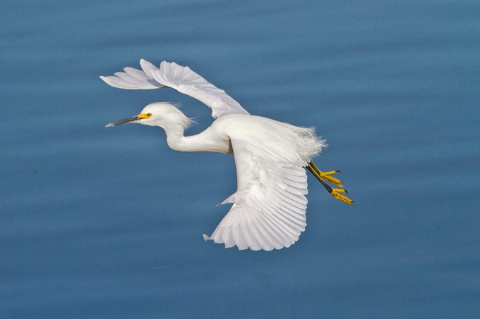 Snowy_Egret_v2_300mm_1-4mm_7D _DD 12_10__MG_0523