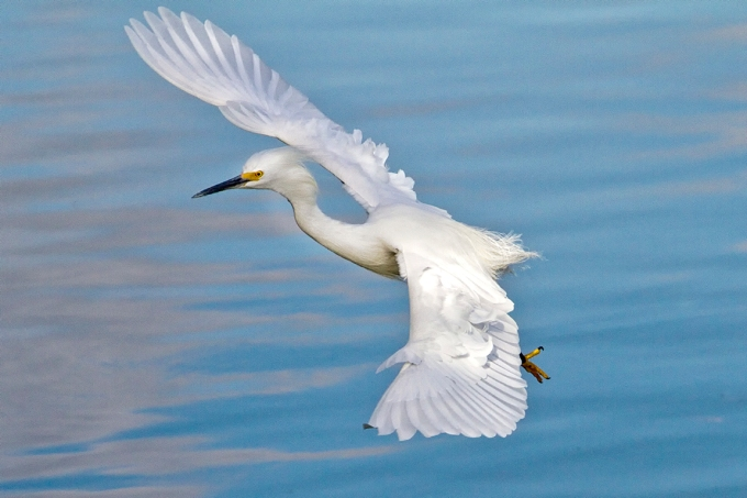 Snowy_Egret_v2_300mm_1-4mm_7D _DD 12_10__MG_0528
