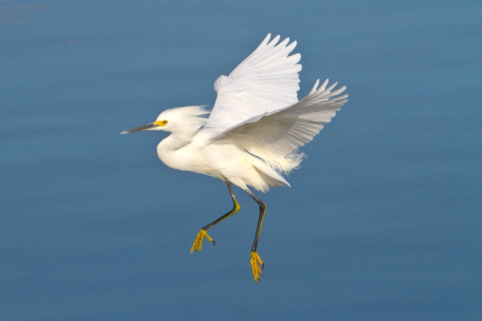Snowy_Egret_v3_300mm_1-4mm_7D _DD 12_10_MG_0524