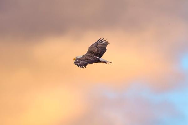 Bald_Eagle_v3_BWR_Early AM_Sunrise_v1_400mmDO_1_4X_1DmkII_43G9720