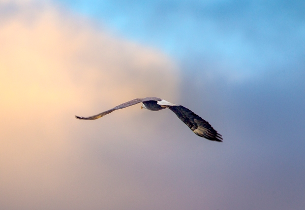 Bald_Eagle_v4_BWR_Early_AM_Sunrise_400mm_1_4X DO_1DmkIII_43G9741