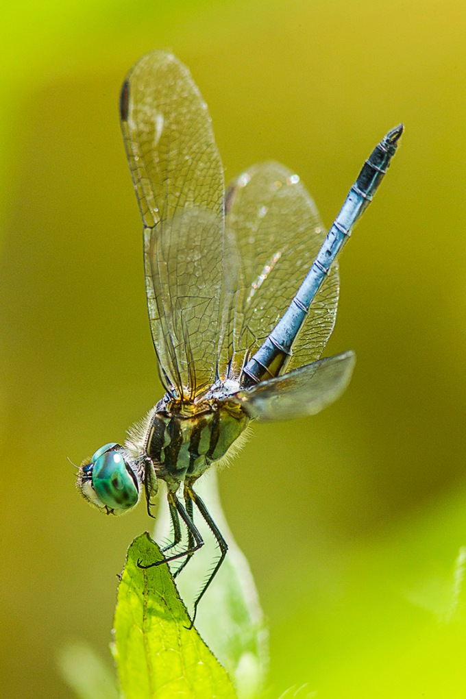 Blue Dasher v1_43G0999