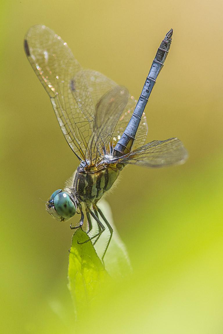 Blue dasher yard v1 400mm_ext_43G0988