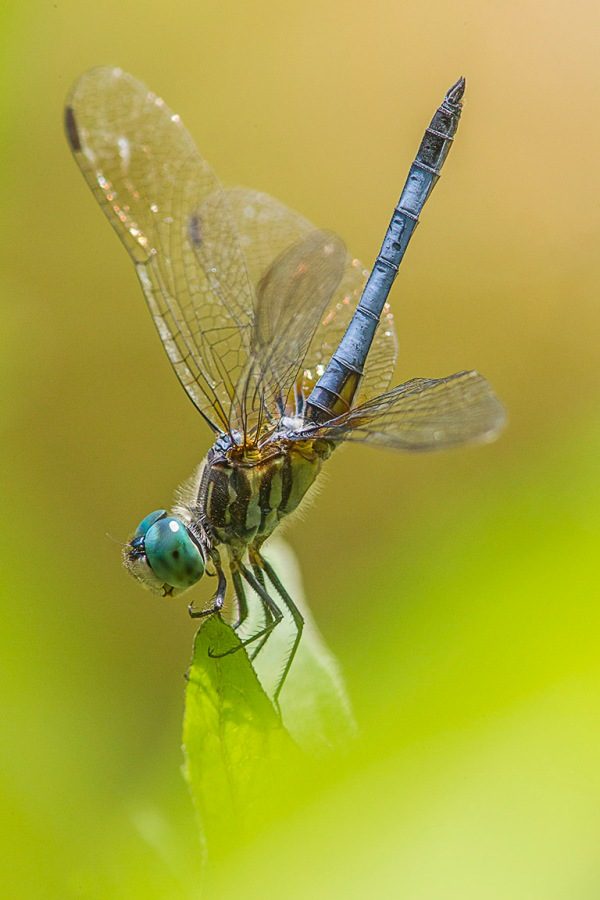 Blue dasher yard v1 400mm_ext_43G0988