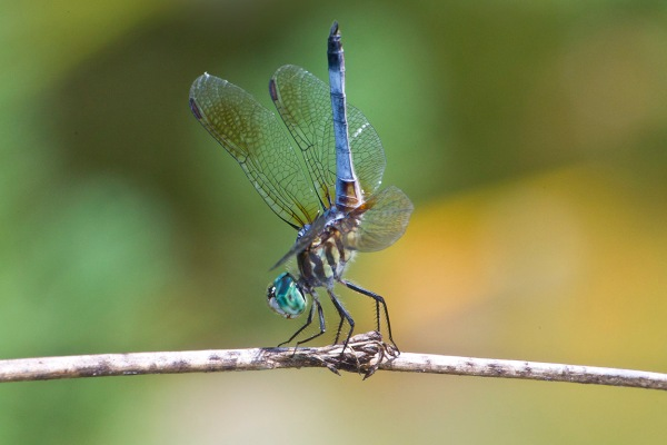 Blue_Dasher_400mm v3_43G3002