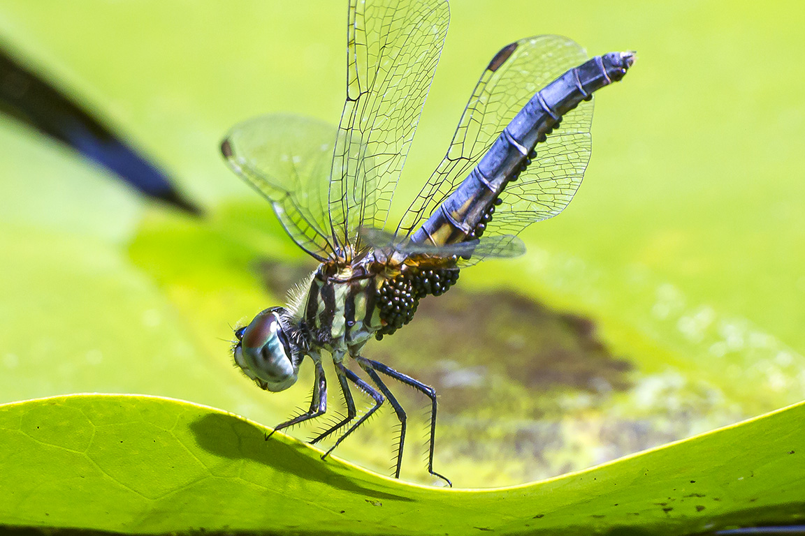 Blue_Dasher_w_Water_Mites_v2_400mm_43G6106