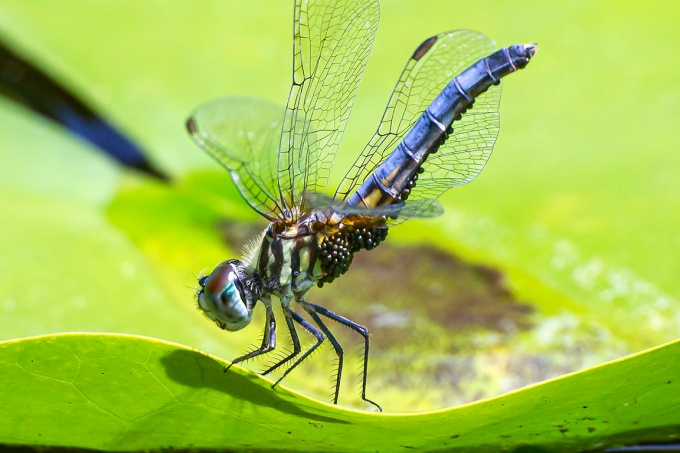 Blue_Dasher_w_Water_Mites_v2_400mm_43G6106