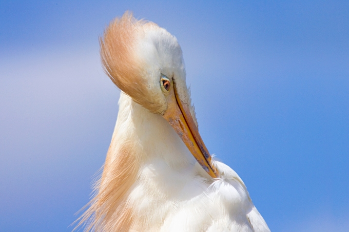 Cattle_Egret_2img_pano_800mm_Brig_v1
