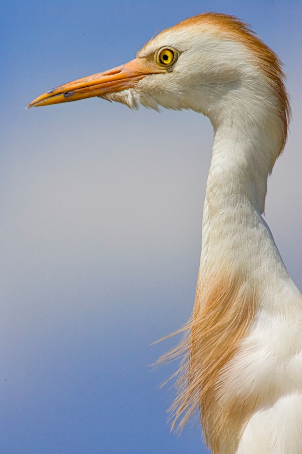 Cattle_Egret_800mm_brigg_Y9F2063