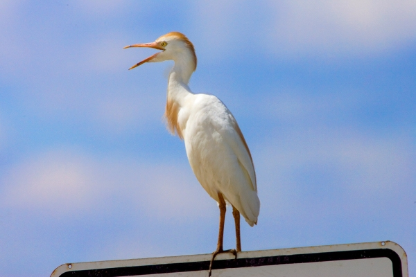 Cattle_Egret_v1_800mm_Brig_Y9F2006