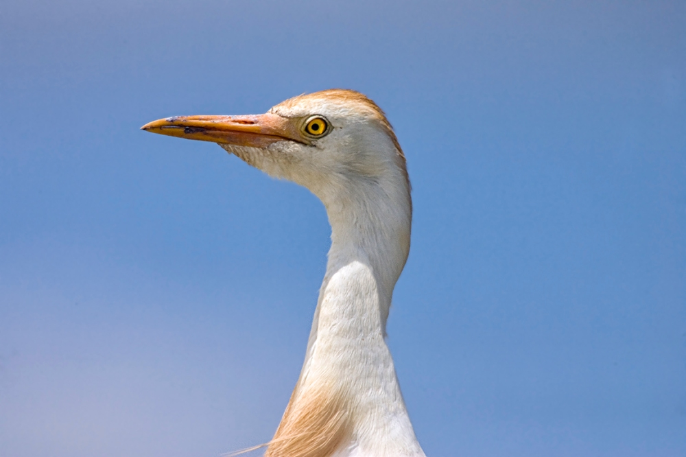 Cattle_Egret_v1_800mm_Brig_Y9F2035