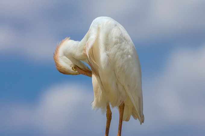 Cattle_Egret_v3_800mm_Brig_Y9F2068