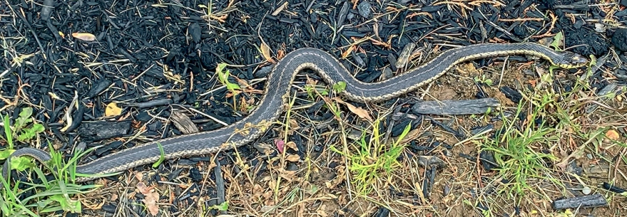 Eastern Garter Snake_v1_IMG_2687