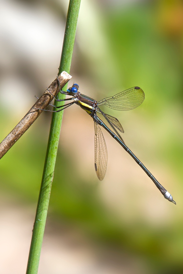 Great_Spreadwing_v2_300mm_7D_MG_5968