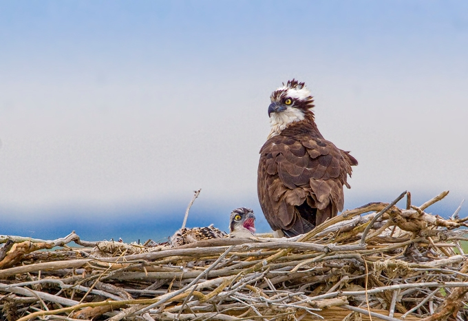Osprey Nest 1280mm _crop_MG_4828