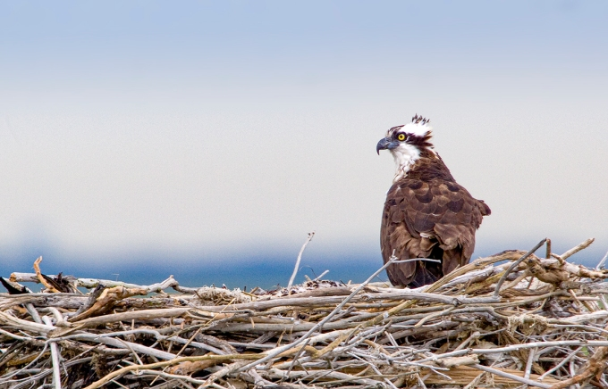 Osprey Nest 1280mm _MG_4936a