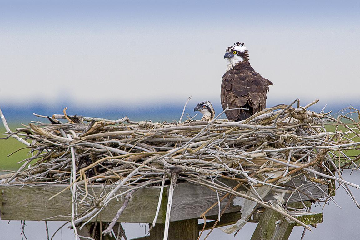 Osprey Nest 1280mm v1_MG_4904
