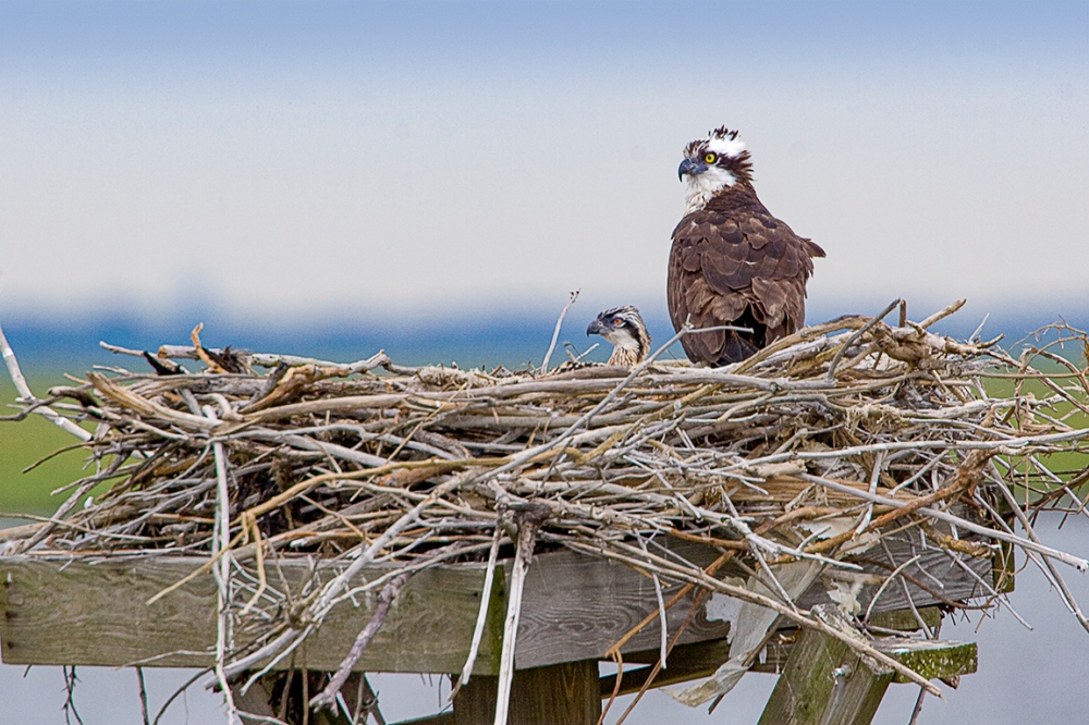 Osprey Nest 1280mm v1_MG_4904