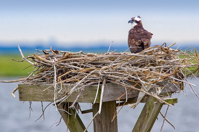 Osprey Nest 1280mm v1_MG_4916