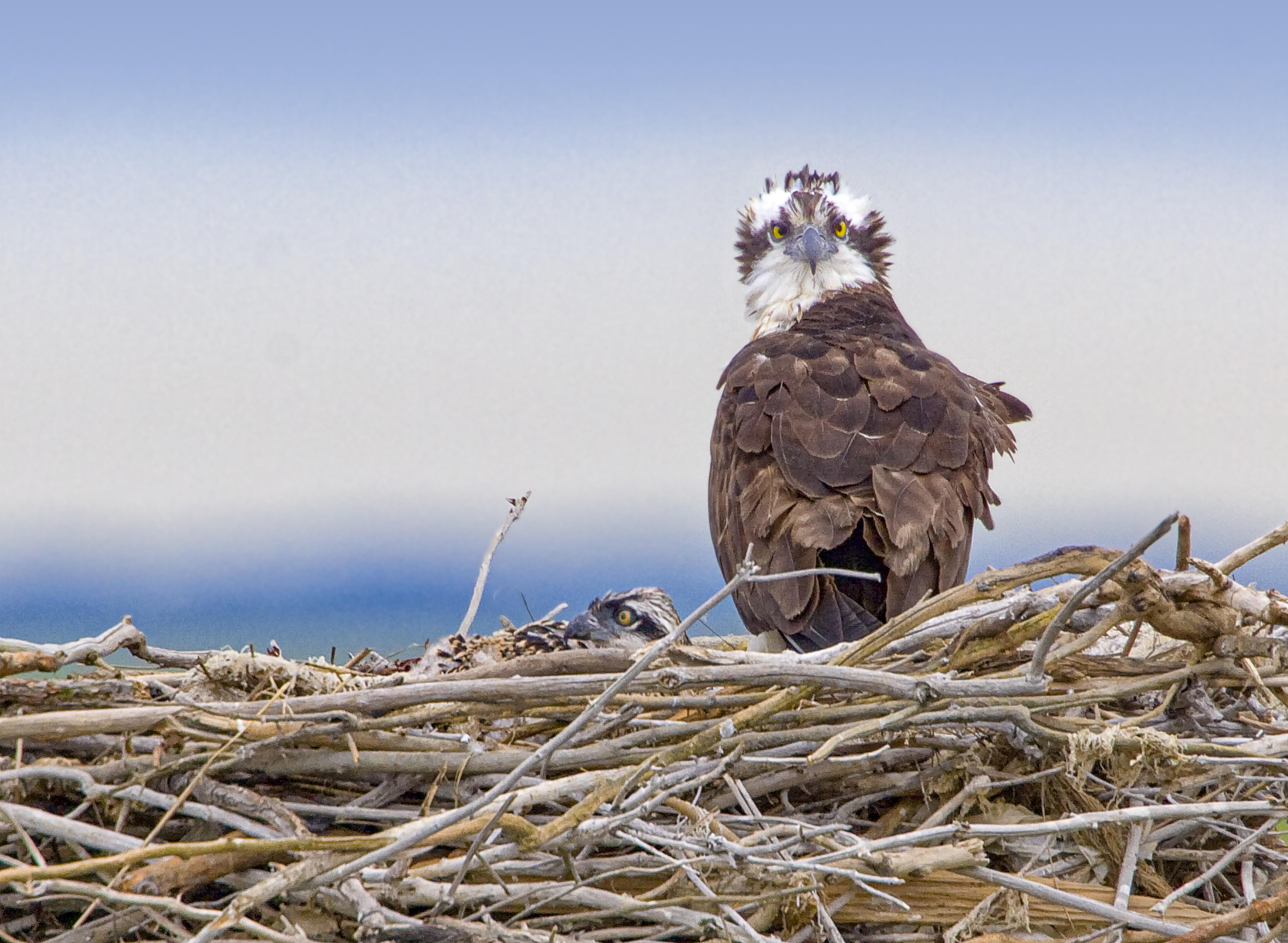 Osprey Nest 1280mm v2 crop_MG_4861