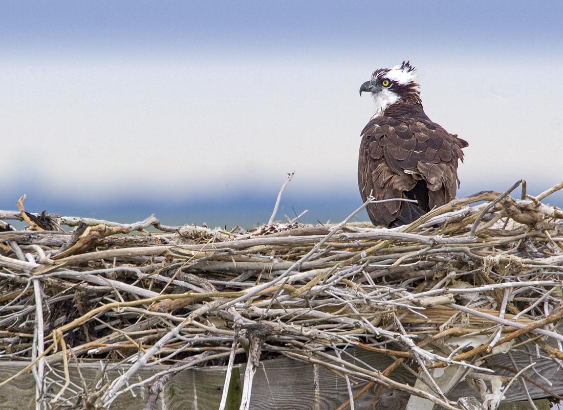 Osprey Nest 1280mm_MG_4916a