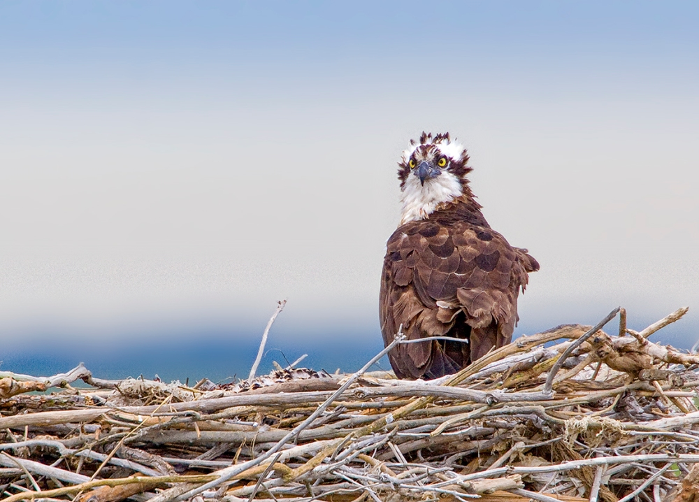 Osprey Nest 1280mm_MG_4933