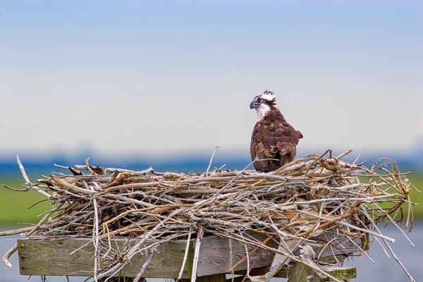 Osprey Nest 800mm 4937_MG_4937