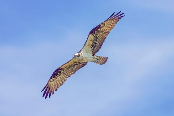 Osprey_FlyBy_v3_Brig_Y9F1924a
