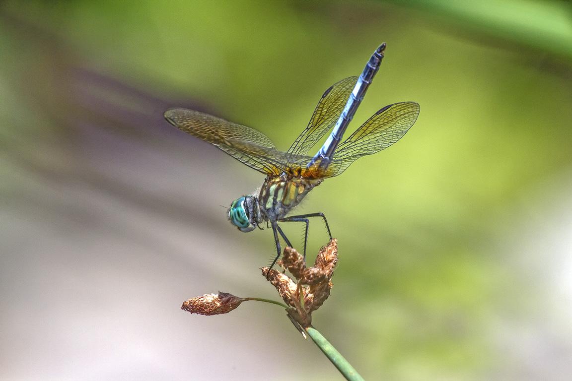Blue Dasher_Male_400mmDO-f14_v1_MG_1314