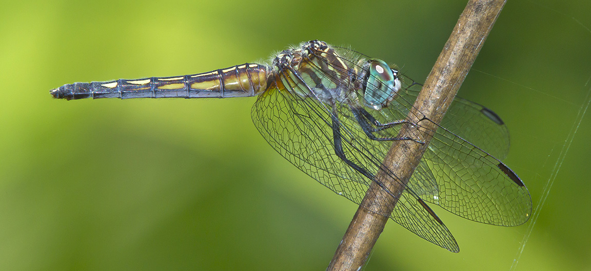 Blue_Dasher Pano_43G3758 crp v3