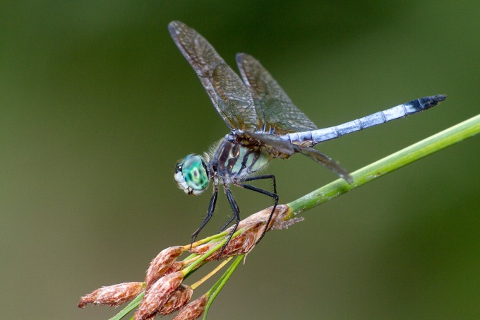 Blue_Dasher_400mm_Fil_Flsh_v1_MG_1677