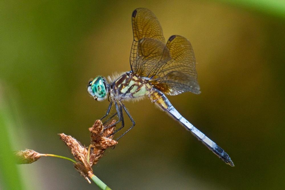Blue_Dasher_400mm_FilFlsh_v1_MG_1333a