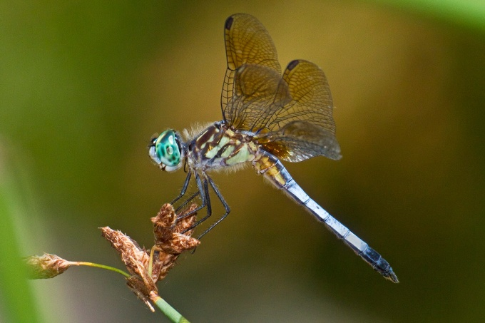 Blue_Dasher_400mm_FilFlsh_v1_MG_1333a