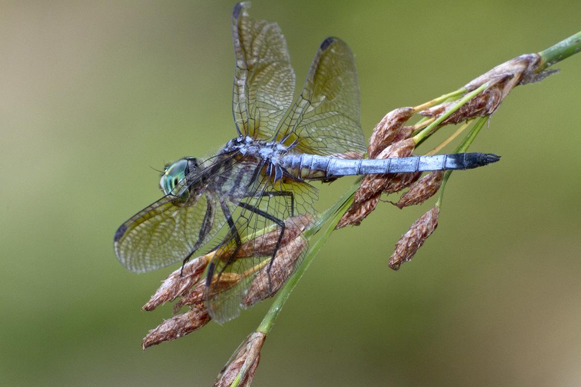 Blue_Dasher_400mm_FilFlsh_v1_MG_1731