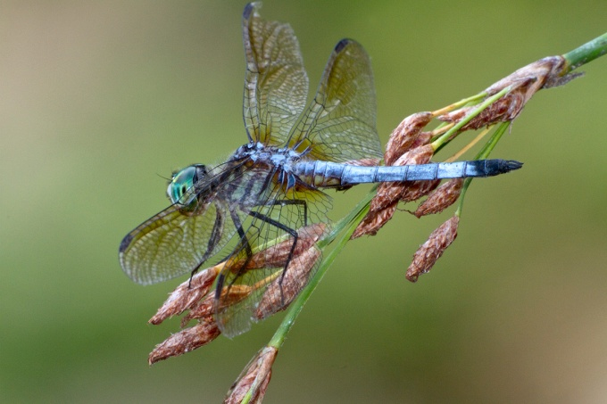 Blue_Dasher_400mm_FilFlsh_v1_MG_1731
