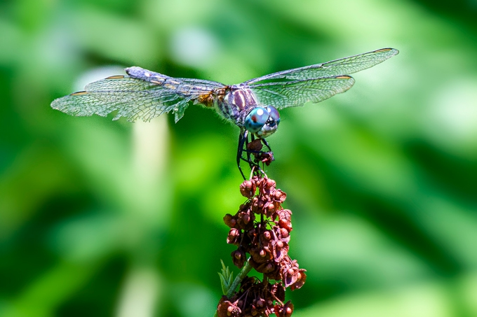 Blue_Dasher_FM_v1_400mm_1D_43G0105