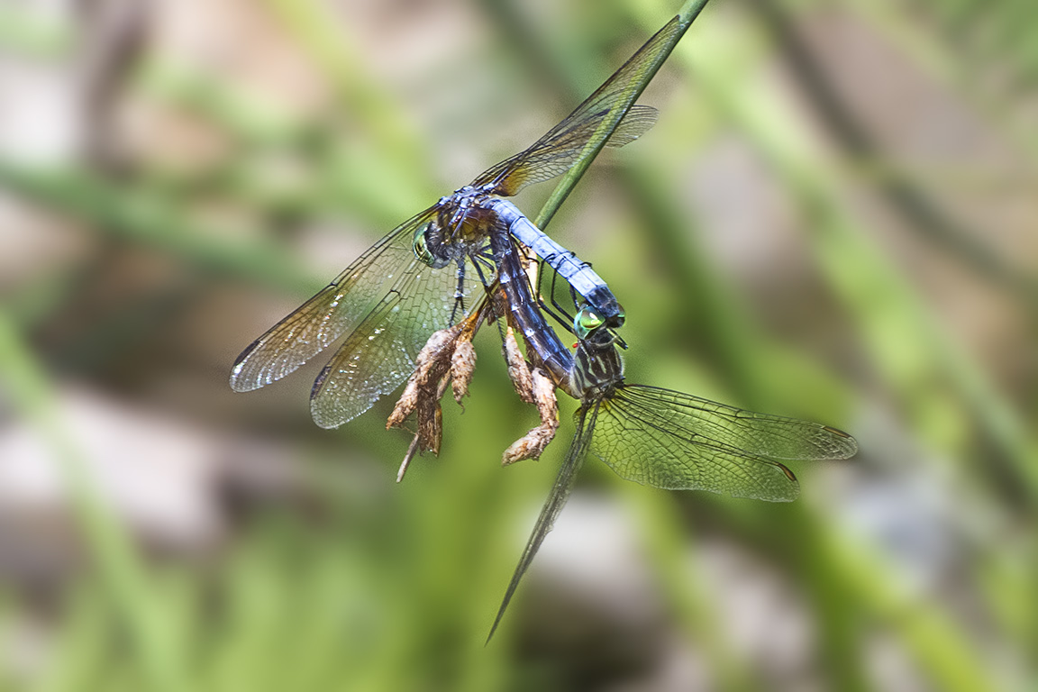 Blue_Dasher_mating 400mmDO f11_MG_1317