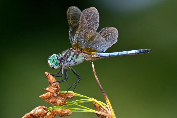 Blue_Dasher_v1_400mm_FilFlsh_v1_MG_1657 v3
