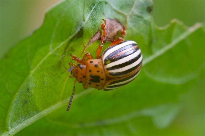 Cuccumber Beetle_v1_150mm_1_4X_7d