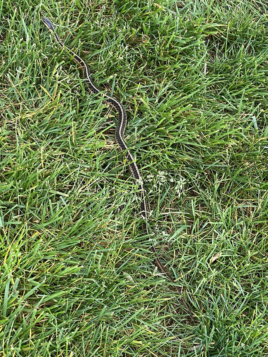 Garter snake_v1_IMG_2884