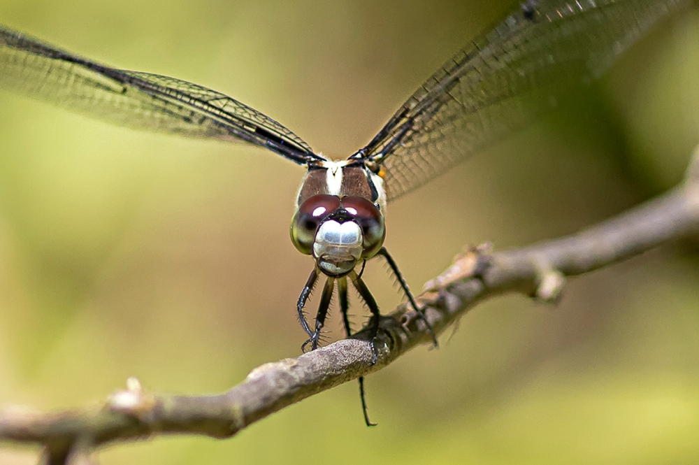 Great Blue Skimmer_FM_DM_300_1_4X_v2_76A5733