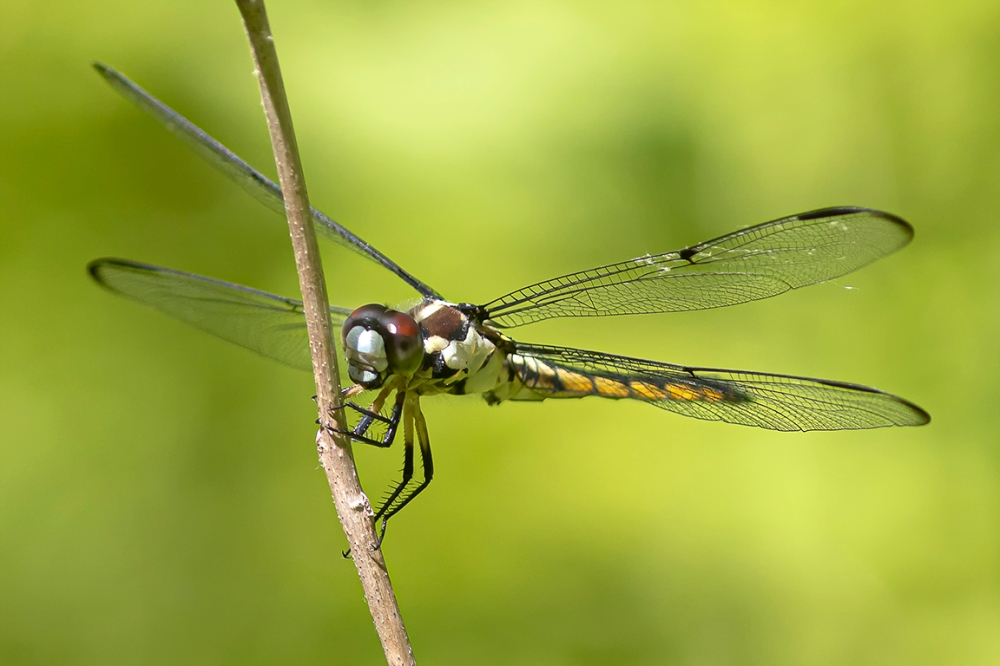 Great Blue Skimmer_FM_V3_76A5723