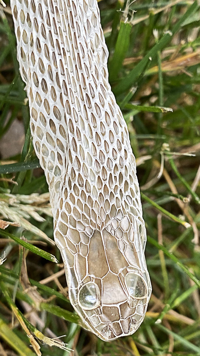 Head snake skin_v3_6mm_IMG_2877