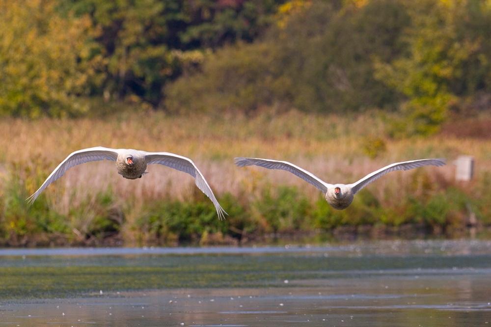 Incoming Swans_CF_MG_0942