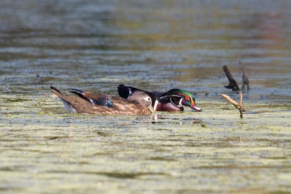 Wood_Ducks_MG_0853