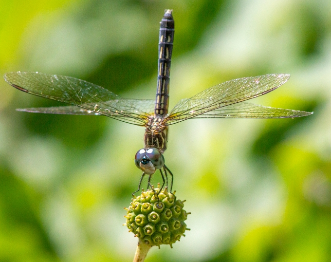 1 Blue_Dasher_FM_v1 300mm f11_MG_0882