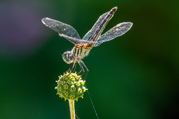 10 Blue_Dasher_FM_300mm_1_4X_1250_ISO_7D_MG_1127