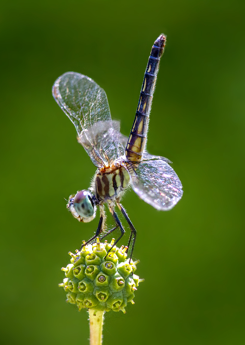 3 Blue_Dasher_FM_v4a_300mm_1_4D_7d_f11